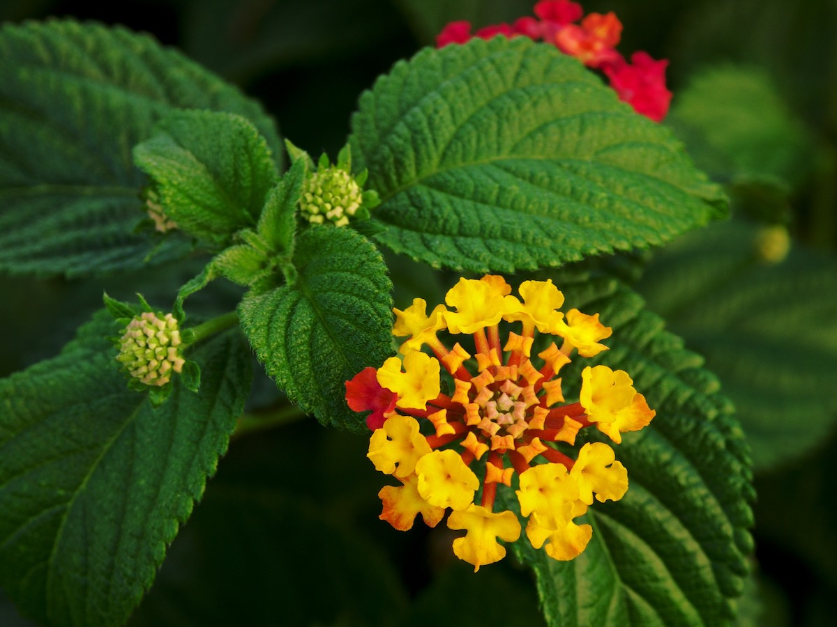 The lantana weed has had a negative effect on certain trees on the land.